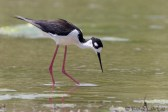 Échasse d'Amérique - Black-necked Stilt